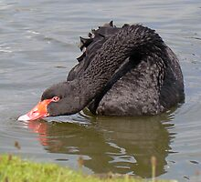A Black Swan by AARDVARK