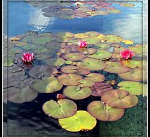 Pink Water Lilies at Sunset in a Mirrored Frame by BlueMoonRose