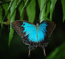 blue butterfly by daneo