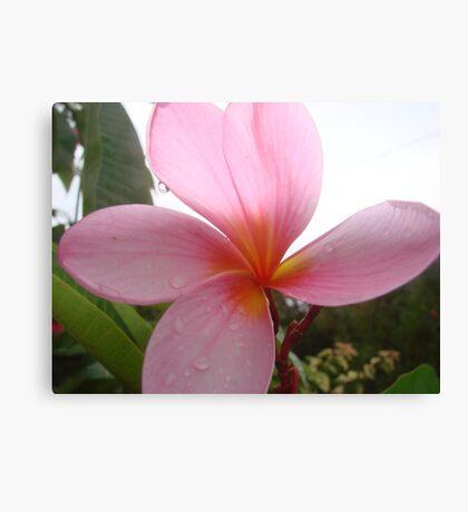 Pretty Pink Frangapani Flower Canvas Print