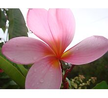 Pretty Pink Frangapani Flower Photographic Print