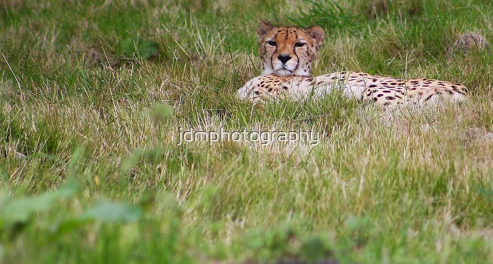 Cheetah by jdmphotography