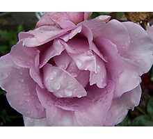 Lilic Rose .. after the rain 8 Photographic Print