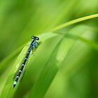 Summer Bluet by Bill Morgenstern