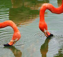 Flamingos filter-feeding ............. by jdmphotography