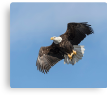 American Bald Eagle With A Fish Canvas Print