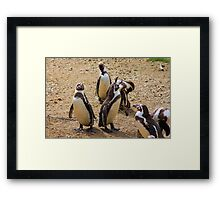 Humboldt penguins .............   Framed Print