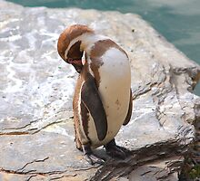 Penguin Preening ....... by jdmphotography