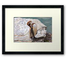 Penguin Preening ....... Framed Print