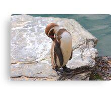 Penguin Preening ....... Canvas Print