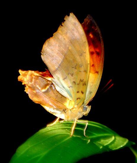 Portrait of a Butterfly... by LjMaxx