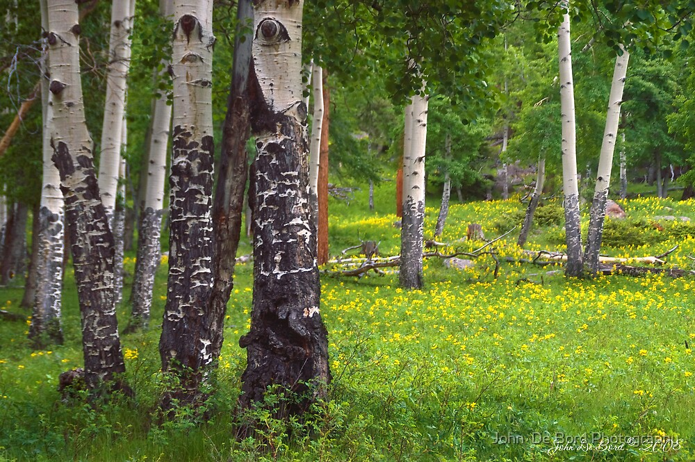 Aspen Wildflower Forests by John  De Bord Photography