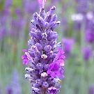 Lavender by Maureen Brittain