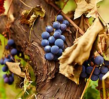 Blue grapes on a vine, closeup by naturalis