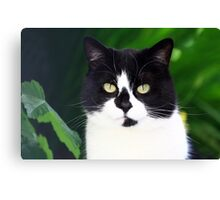 Black and white cat looking at camera Canvas Print