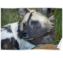 It's a wild dog life Poster