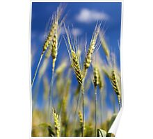 Wheat field closeup Poster
