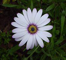 Daisy by oscars