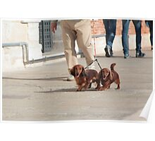 Dachshunds Twins Poster