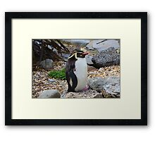 Rockhopper Penguin......... Framed Print