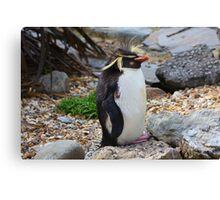 Rockhopper Penguin......... Canvas Print