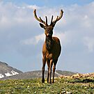 King of the Alpine Tundra by Patricia Montgomery