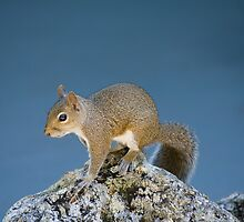 Squirrel King of the Hill by Russell Fry