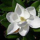 magnolia by Sheila McCrea