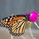 Monarch Butterfly by ChereeCheree