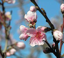 Nectarine Blossom by Jan Richardson