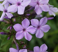 Lilac Flowers by vawart
