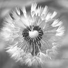 Dandelion Black and White by ChereeCheree