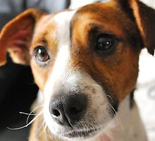 Jack Russell  by GreyFeatherPhot