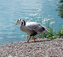 Bar Head Goose by Kathleen Struckle