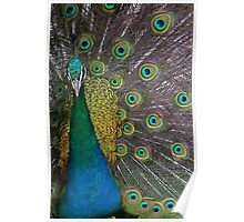 PEACOCK PROUD Poster
