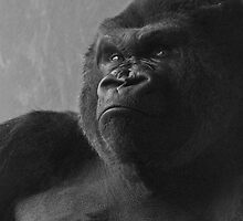 portrait of a silverback by jude walton