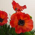 Poppies by Graeme  Hunt