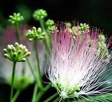 Kathy's Early Silk Flower by velveteagle