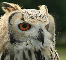 Bengal Eagle Owl Portrait (Bubo Bengelensis) by Paul Cook