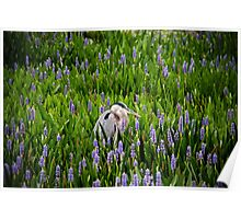 Great Blue Heron in Pickerel Weed Poster