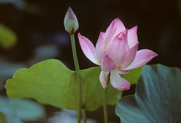 LOTUS   FLOWER by yoshiaki nagashima