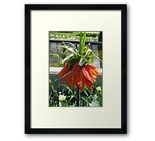 Orange Crown Imperial - Very Dutch! Framed Print