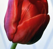 Red Tulip Portrait. by Terence Davis