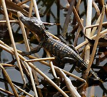 Baby Gator in the marsh by jrhall19