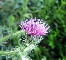 Scottish Thistle by Andrew Ness - www.nessphotography.com