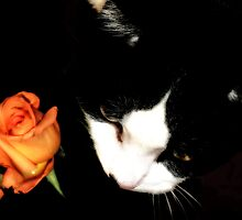 Domino & Peach Roses by Lesley Smitheringale