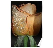 Dew Drops on Peach Rose Poster