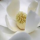 Magnolia by JuliaWright