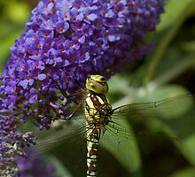 Dragonfly on a Buddleia 1 by bubblebat