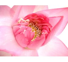 Blooming Lotus Photographic Print